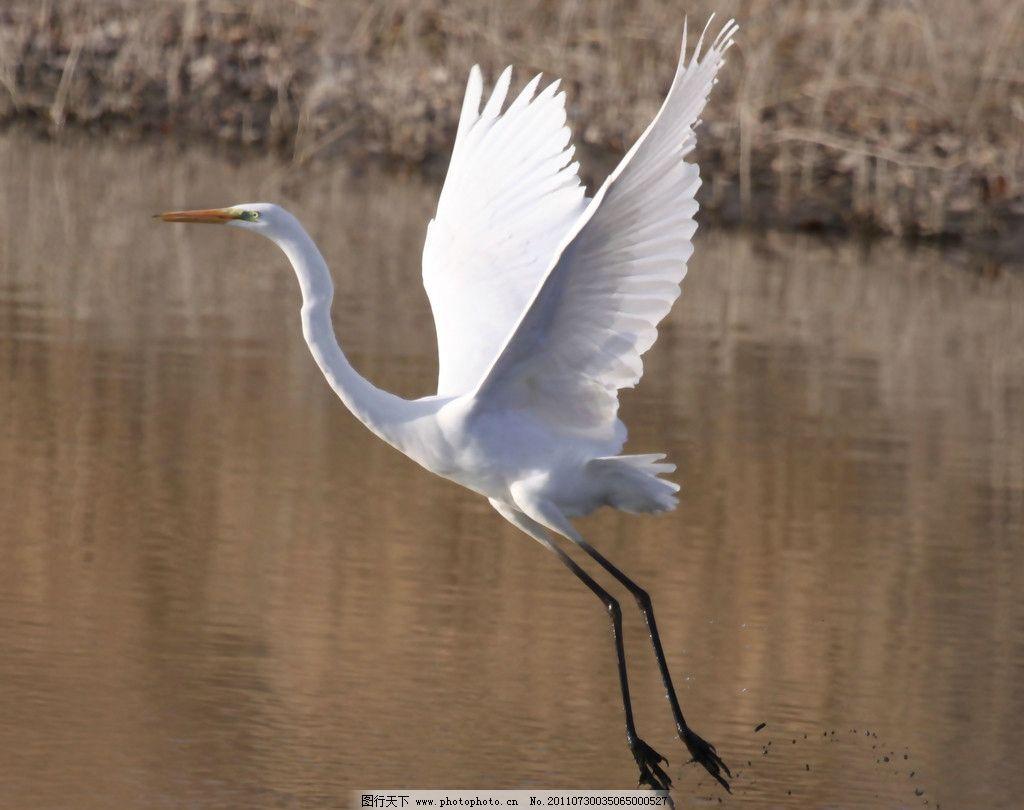 白鹤 仙鹤 丹顶鹤 草丛 野生动物 动物世界 生物世界 摄影