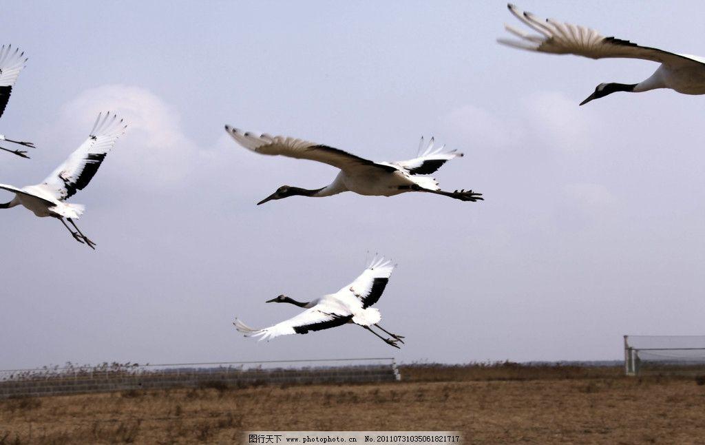 仙鹤 鹤 丹顶鹤 白鹤 草丛 野生动物 动物世界 生物世界 摄影 300dpi