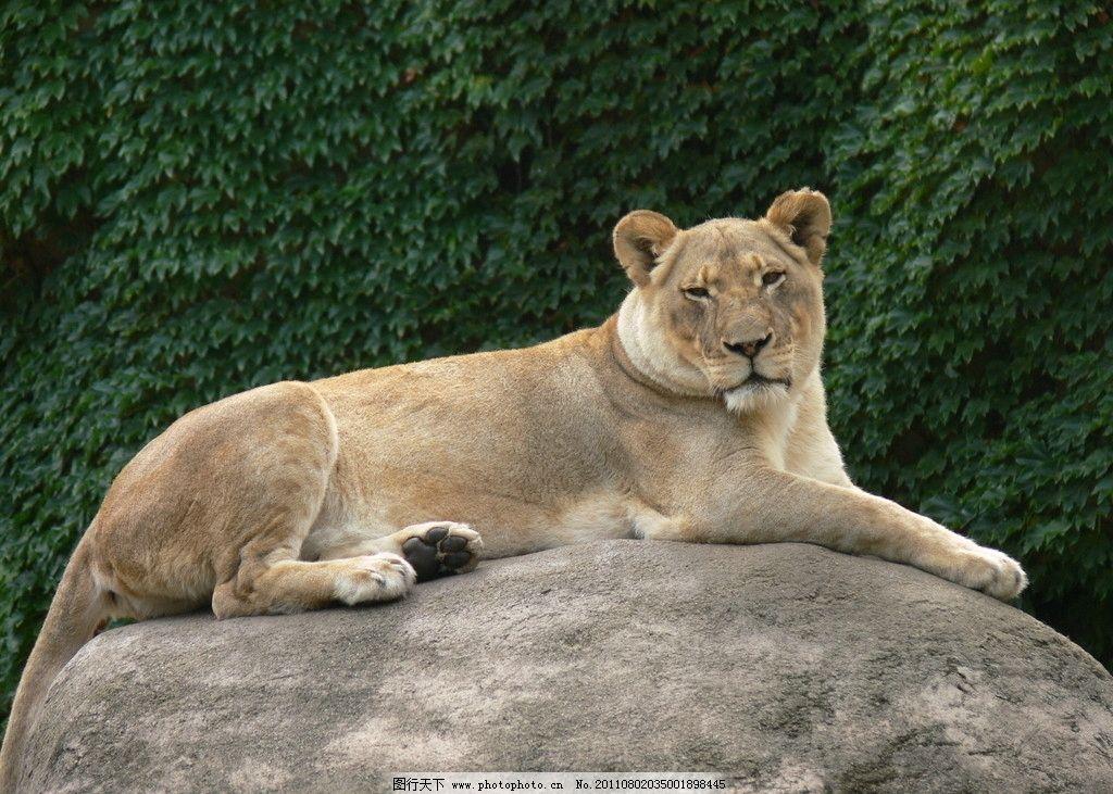狮子 动物摄影 动物图片