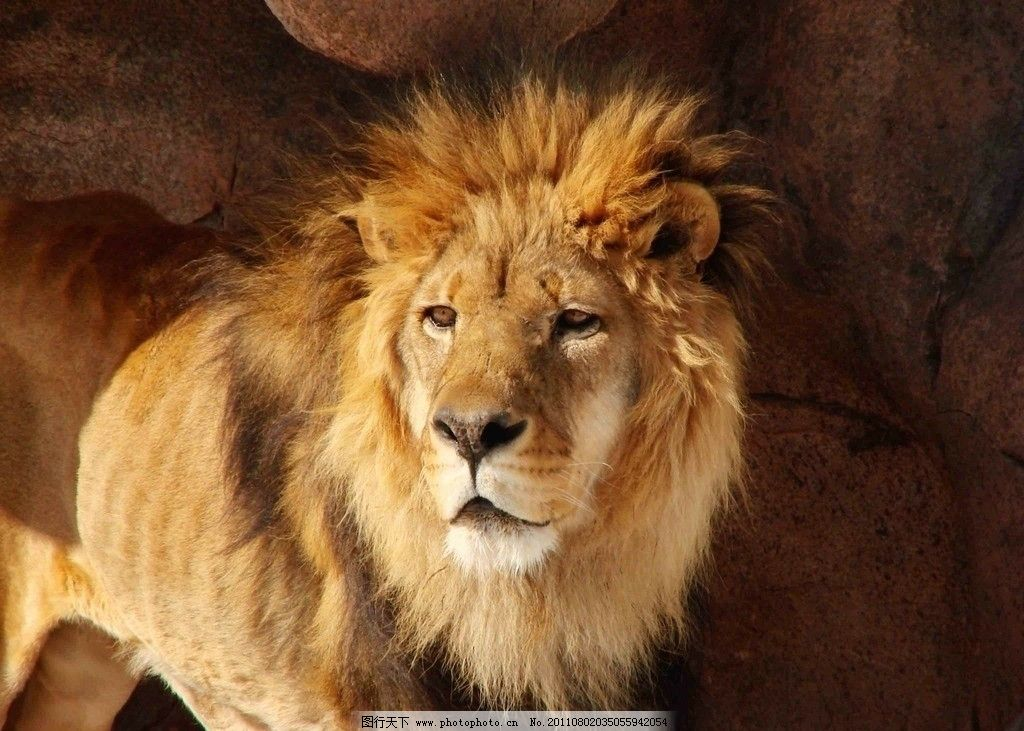 食肉动物 猛兽 雄狮 狮子图片 动物素材 狮子图集 生物世界 摄影 100d