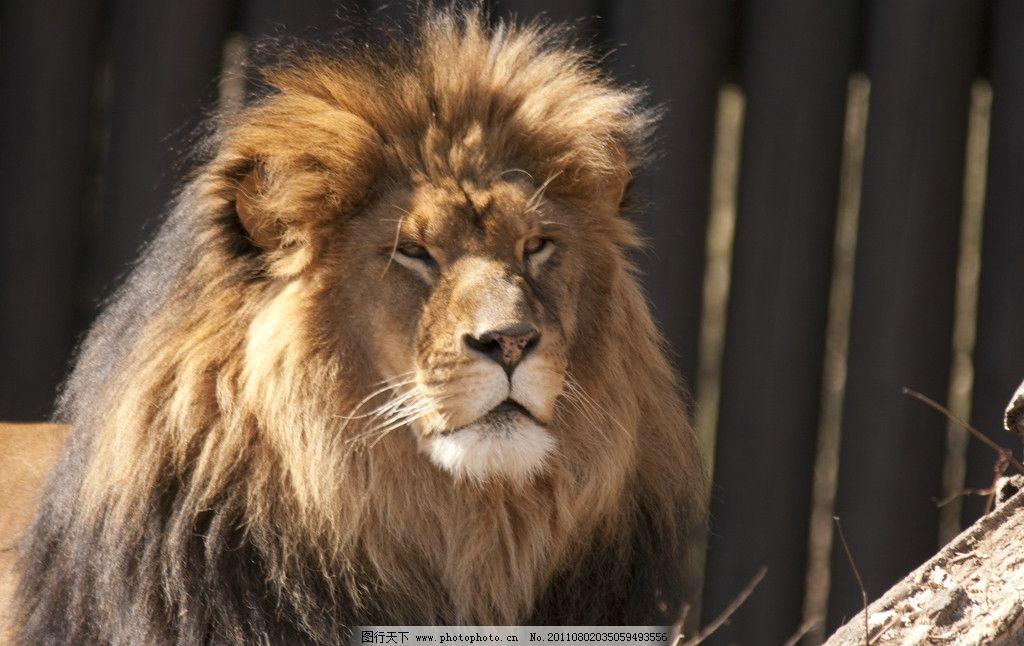 狮子 动物摄影 动物图片 野生动物 食肉动物 猛兽 雄狮 动物素材