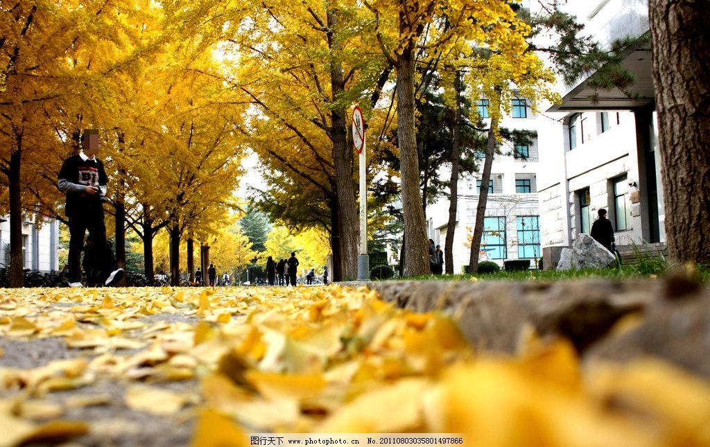 秋日落叶 秋天 深秋 秋日 落叶 叶子 金黄色 大树 城市风景 树木树叶