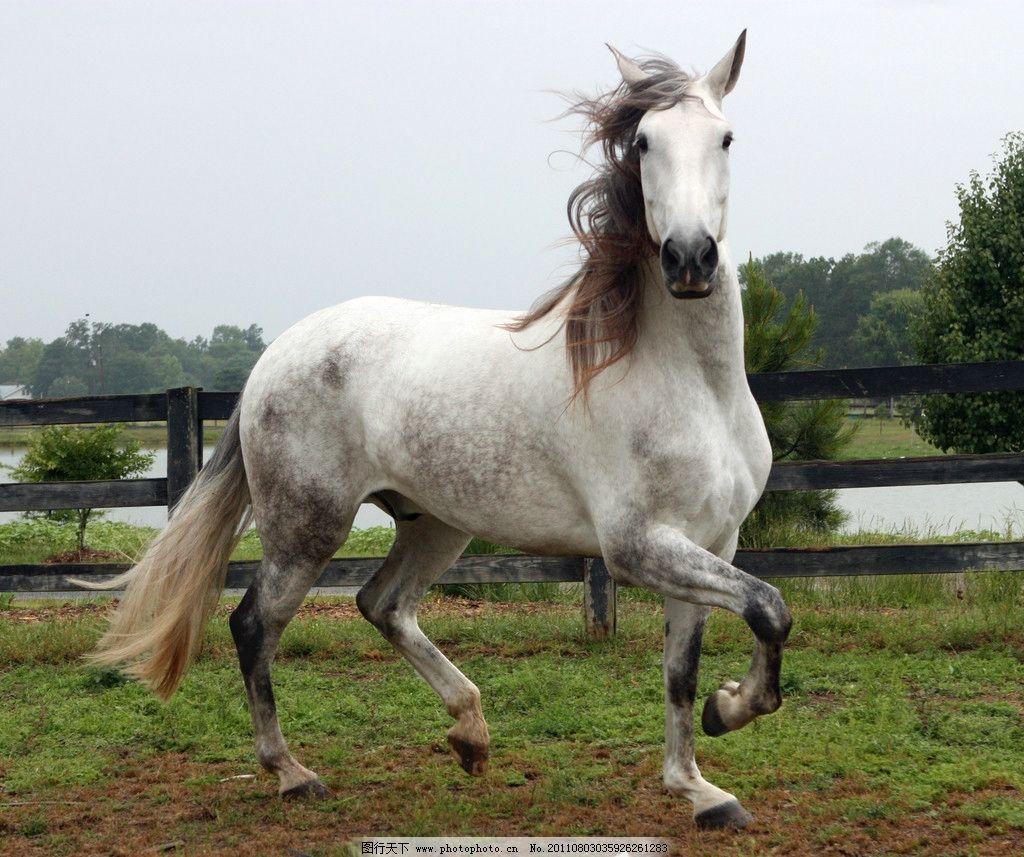骏马 动物摄影 动物图片 白色骏马 马 骏马图片 骏马素材 动物素材