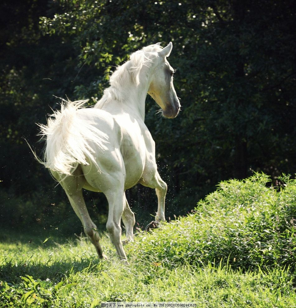 白色骏马 动物摄影 动物图片 骏马素材 动物素材 骏马图片集