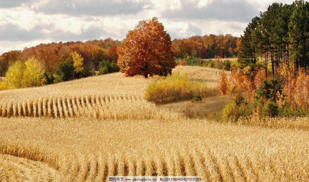 秋天的风景 秋季 秋天 丰收 秋收 麦田 枫树 季节 秋天的田野 风光