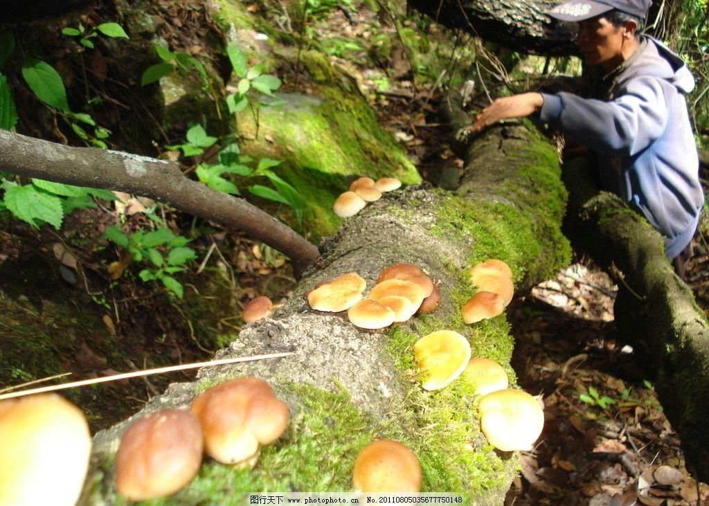 树上长满的香菇 香菇 野生菌