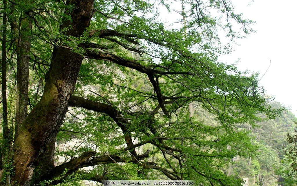 大树 茂盛的大树 景观 风景 深山 树林 树枝 树木树叶 生物世界 摄影