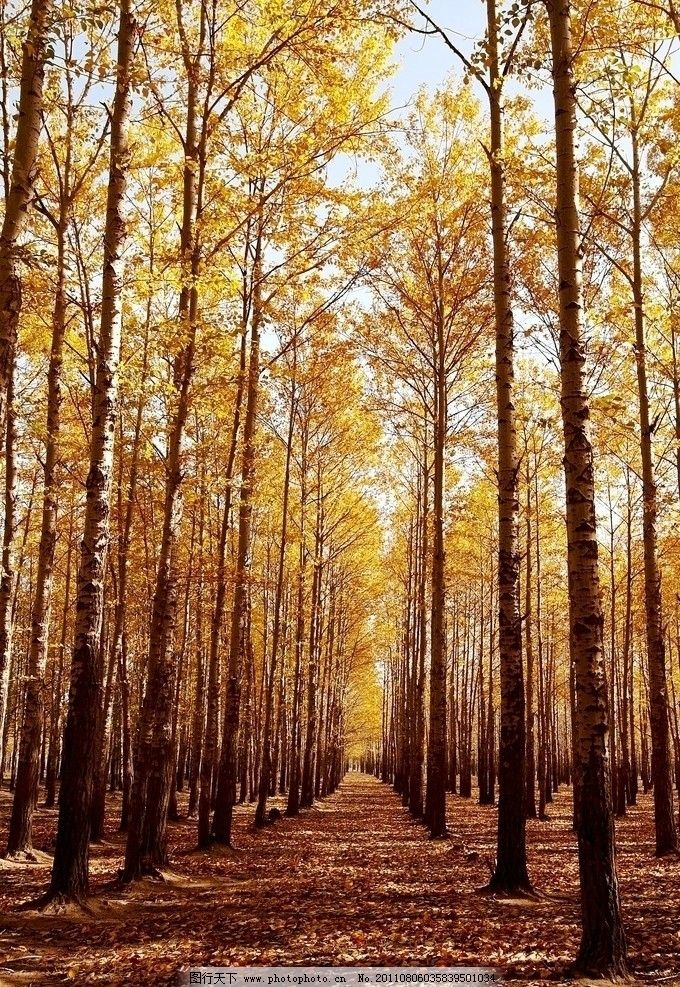 阿尔山风景 阿尔山 自然风光 秋天 秋景 白杨树 杨树林 平原 秋 森林