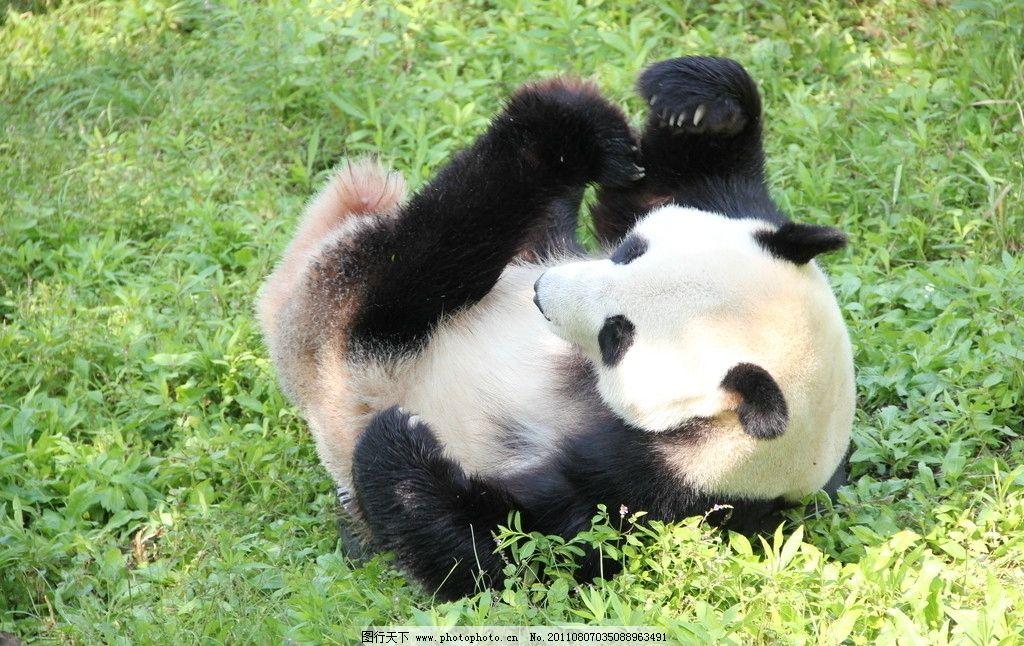 熊猫 动物园 野生动物 生物世界 摄影