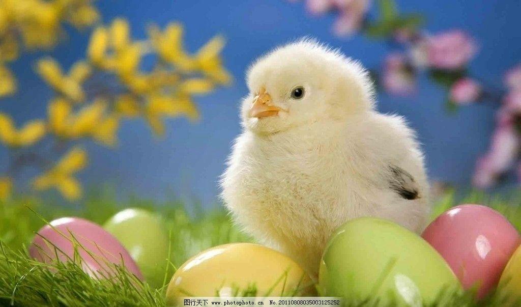 小鸡鸡 可爱的小鸡 刚出生的小鸡 彩蛋 可爱的小动物 超可爱 野生动物