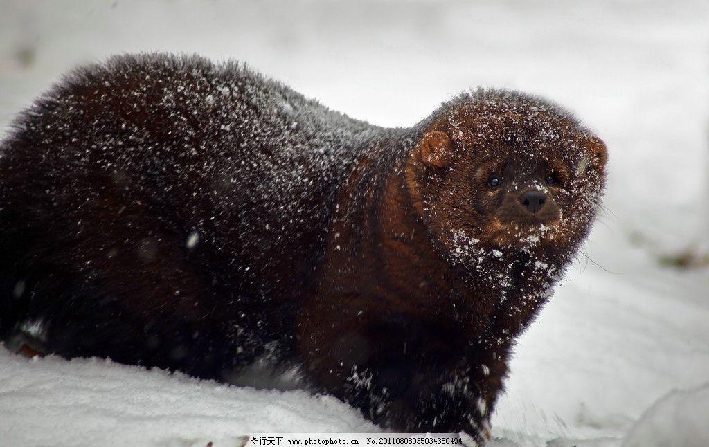 北极熊 大棕熊 雪地 寒冷 冬天 动物 摄影