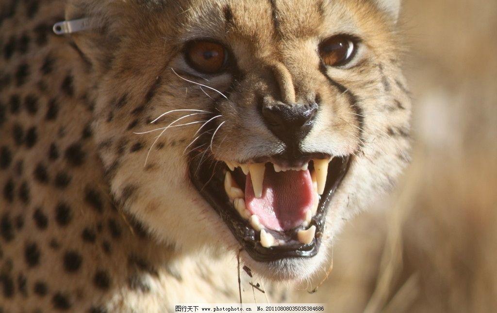 猎豹 凶猛 动物世界 野生动物 生物世界 摄影