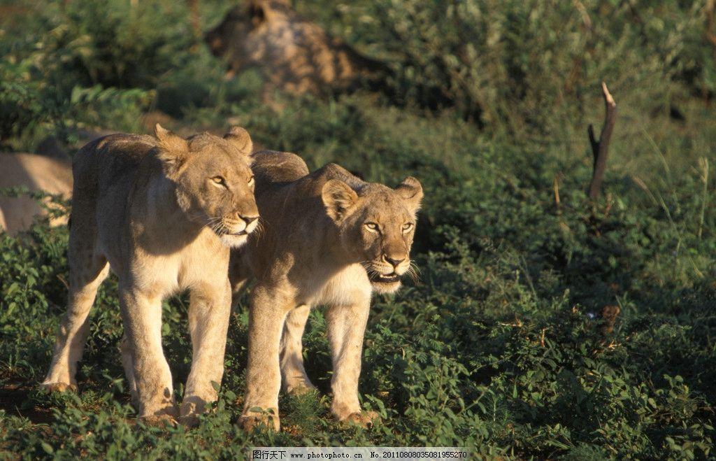 狮子兄弟 狮子 幼狮 兄弟 丛林 原始森林 野生动物 生物世界 摄影