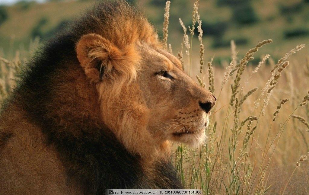 狮子 雄狮 丛林 原始森林 百兽之王 动物世界 摄影