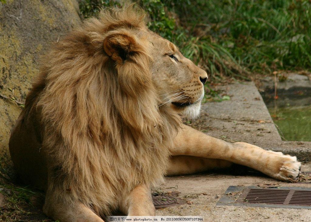 狮子 雄狮 丛林 原始森林 百兽之王 动物世界 野生动物 生物世界