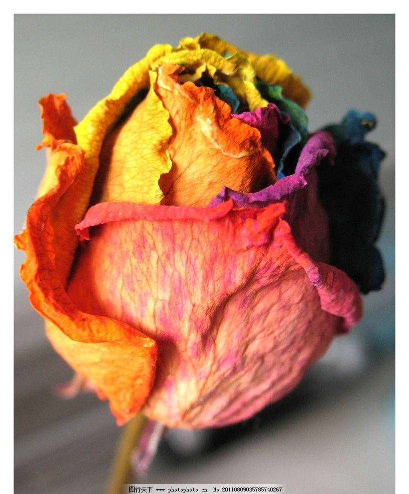 枯萎的彩虹玫瑰花图片