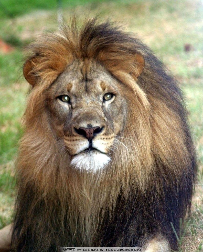 狮子 雄狮 原始森林 百兽之王 动物世界 野生动物 生物世界 摄影 180d