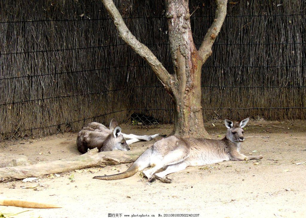 袋鼠 动物 野生 生物 有袋动物 澳大利亚国徽动物 摄影图库 摄影