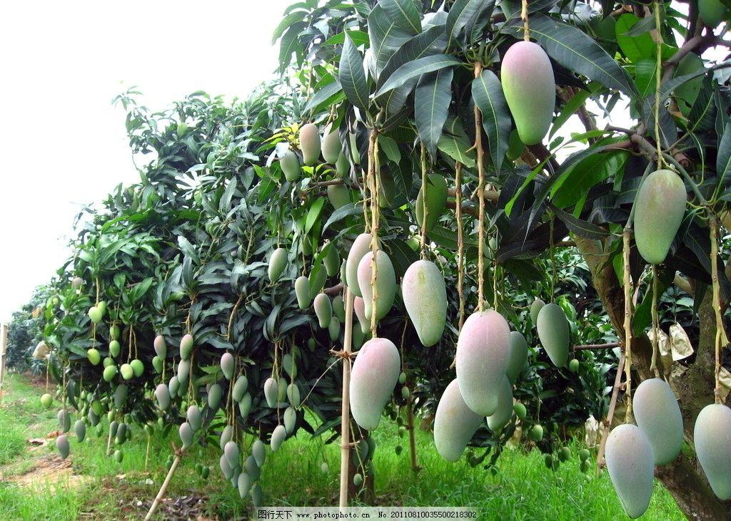 芒果 种植园/芒果种植园图片