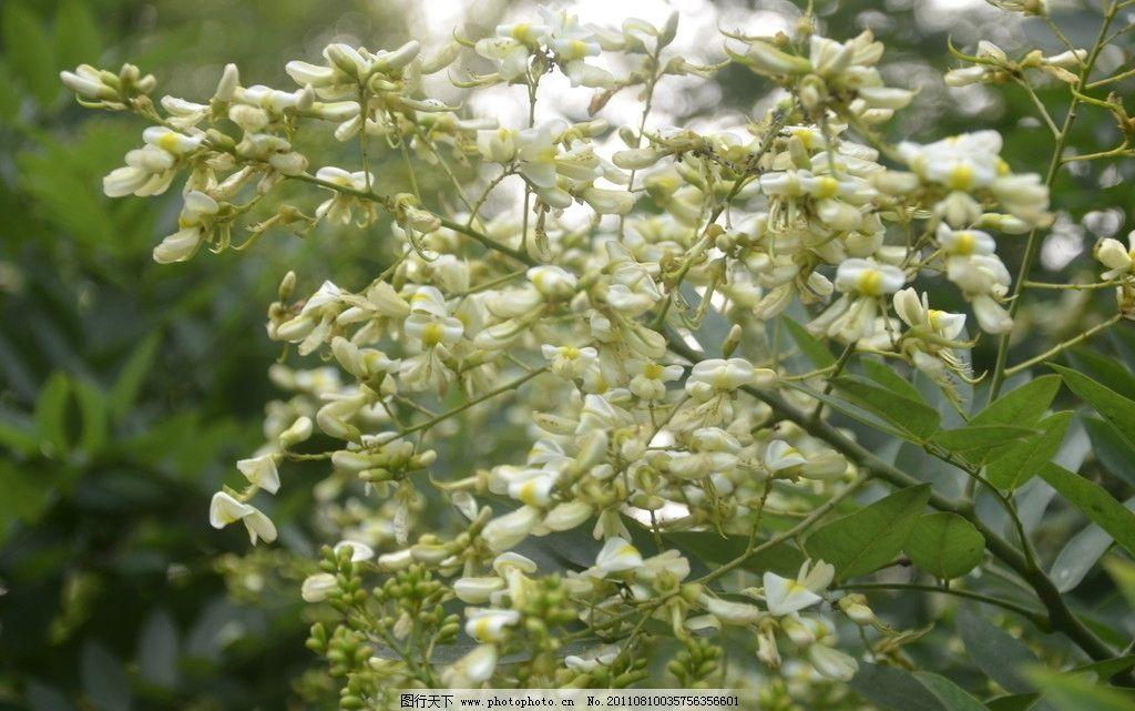 国槐树花图片
