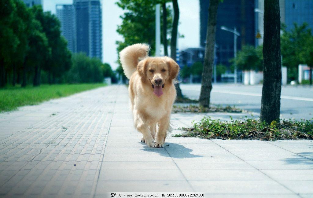 宠物摄影 金毛 黄金猎犬 狗狗 美图 小狗 狗 插图 桌面 屏保 可爱