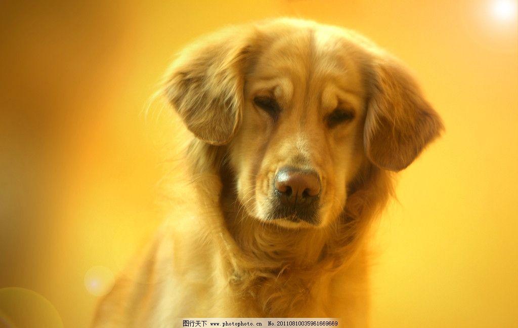 金毛 黄金猎犬 狗狗 美图 小狗 狗 插图 桌面 屏保 可爱 可爱狗狗 酷