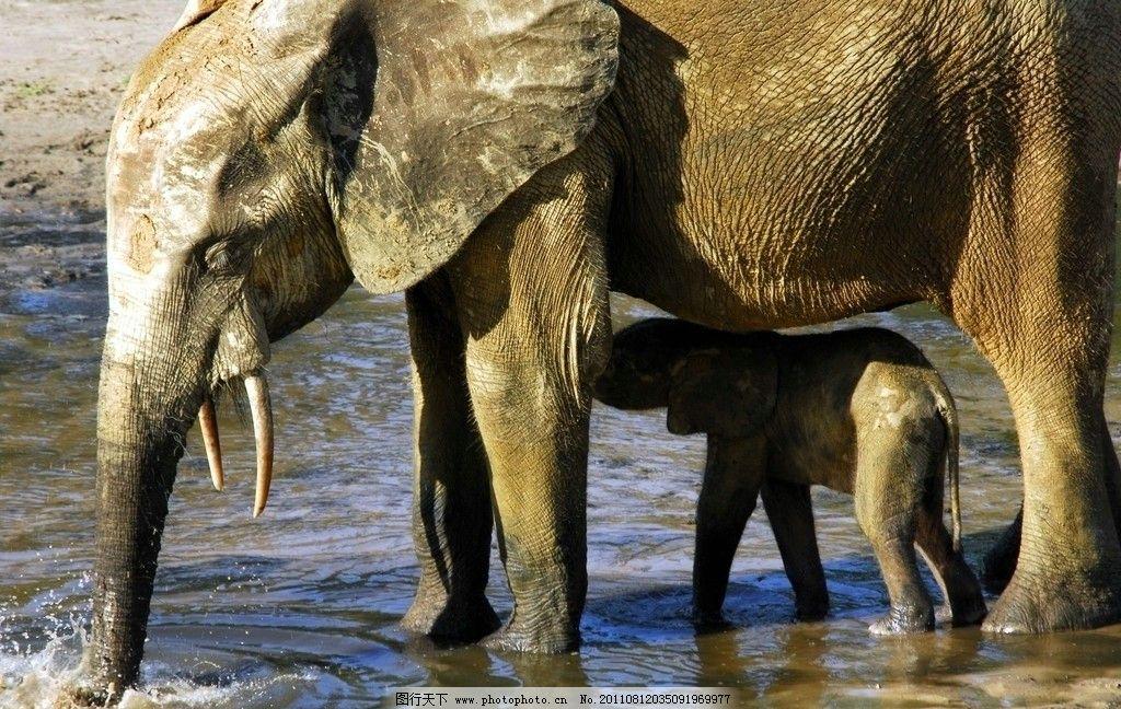 大象 草原 非洲草原 小象 野生动物 生物世界 摄影 300dpi jpg