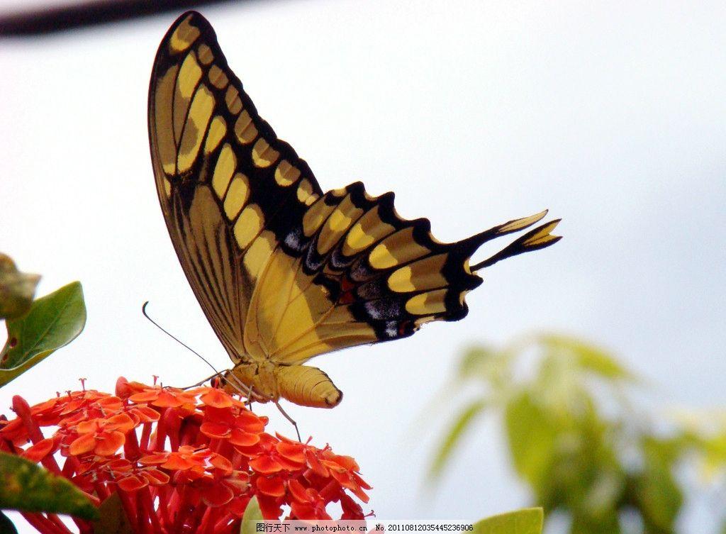 蝴蝶 动物图片 昆虫摄影 昆虫图片 漂亮的蝴蝶 蝴蝶素材 蝴蝶图片