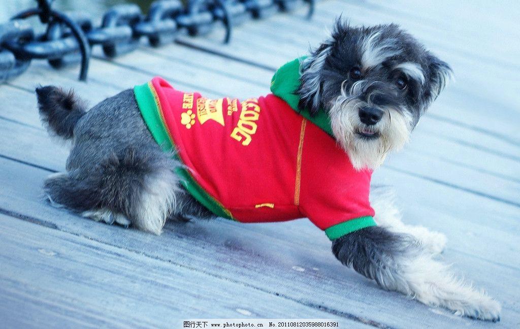 宠物摄影 黑色 黑色雪纳瑞 狗狗 美图 小狗 狗 插图 桌面 屏保 可爱