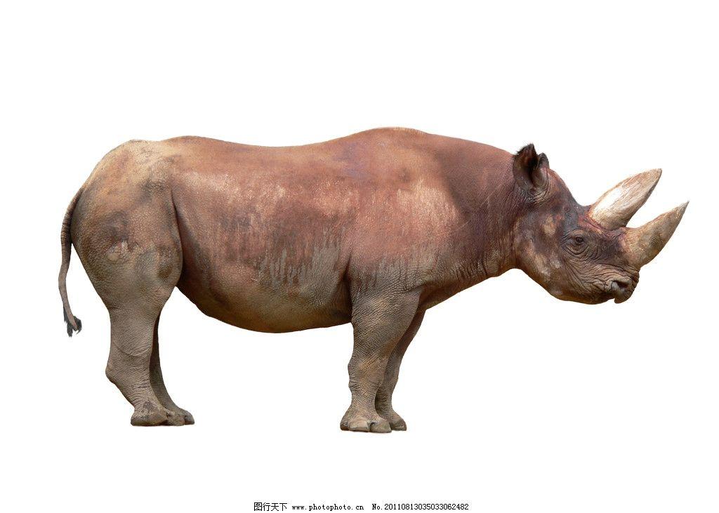 犀牛 牛角 野生动物 动物 生物 犀牛角 生物世界 摄影 300dpi jpg