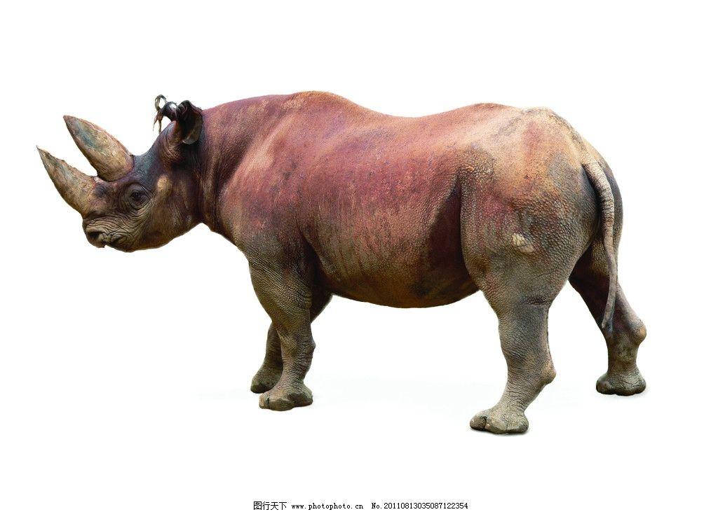 犀牛 牛角 野生动物 生物 犀牛角 生物世界 摄影