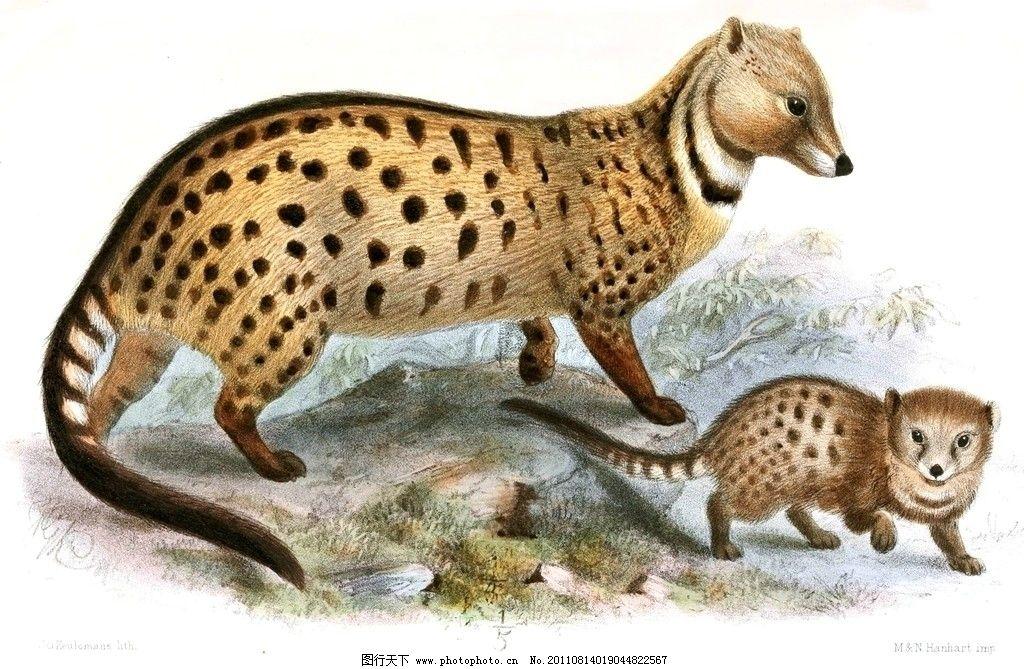 果子狸 动物 野生动物 绘画 绘画书法 文化艺术 设计 72dpi jpg
