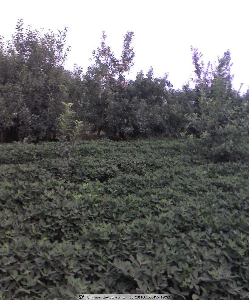 花生地 绿色的植物 大片的叶子 苹果树 摄影图片