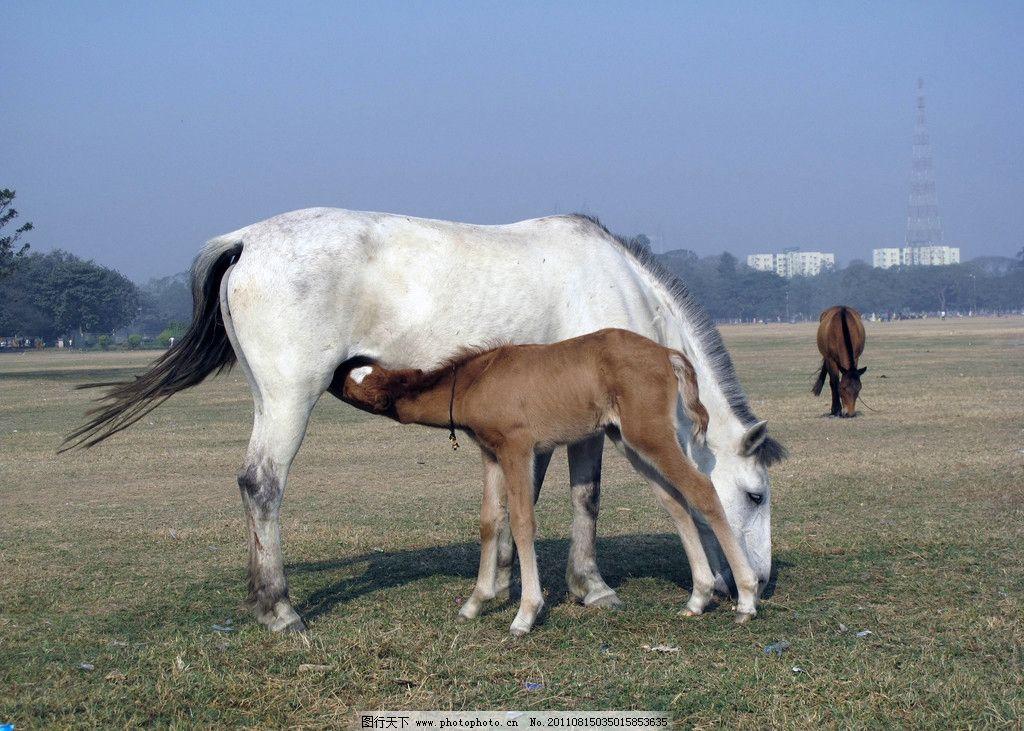 马儿 大马 小马 白马 马吃奶 野生动物 生物世界 摄影