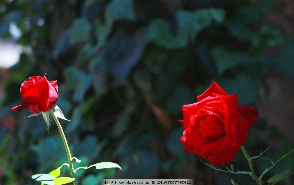 玫瑰花 云南游 拍摄 红玫瑰 红色 绿色 花草 生物世界 摄影图片
