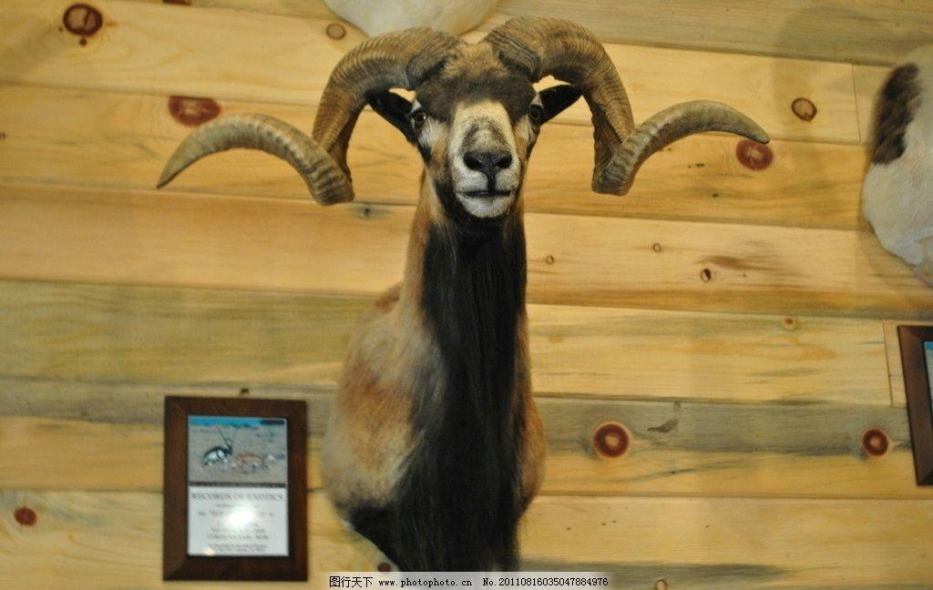 动物标本 墙上 山羊 驯鹿 辟邪 野生动物 生物世界 摄影