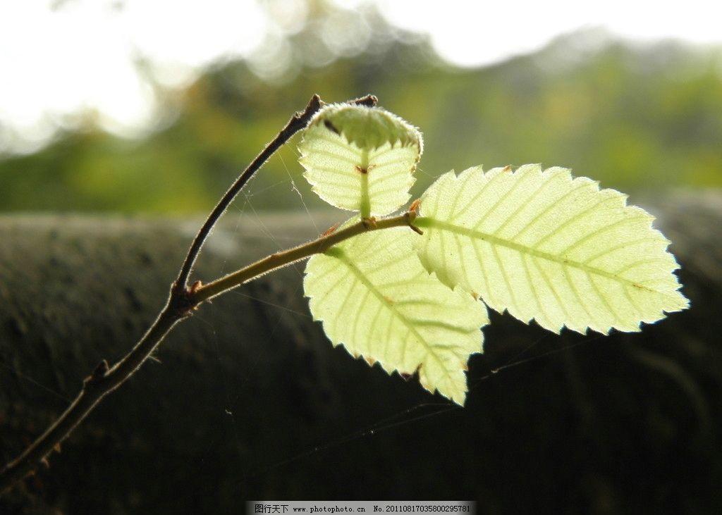 树叶 叶子 叶子微距摄影 树木树叶 生物世界 摄影 72dpi jpg