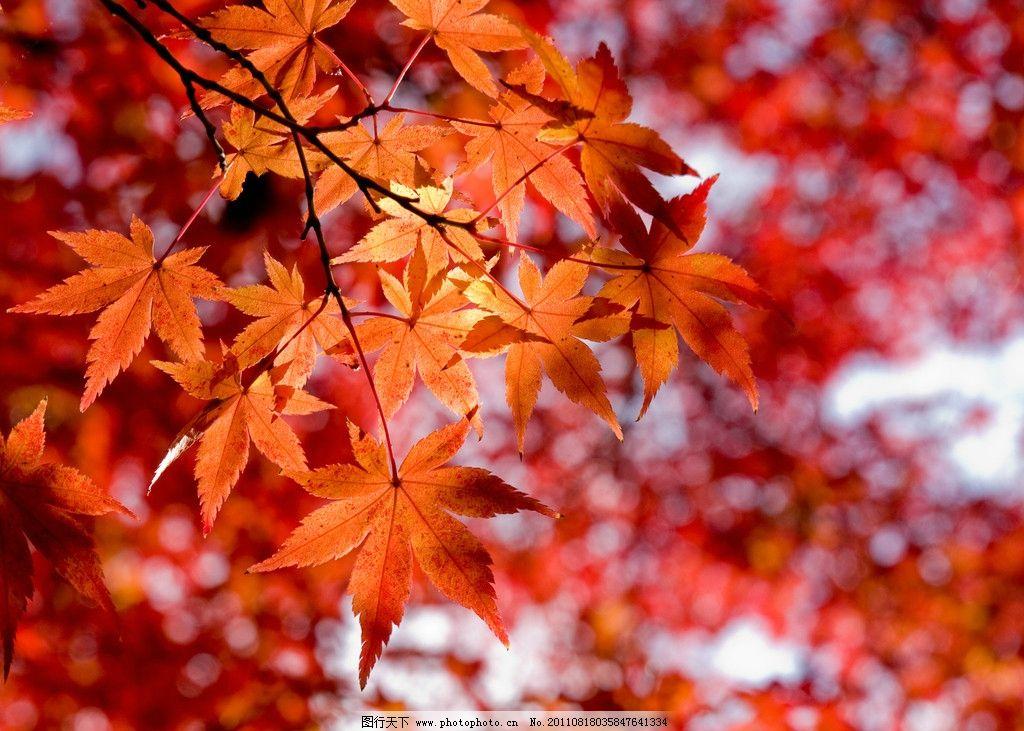 枫叶 黄叶 落叶 植物 秋天