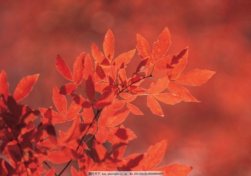 枫叶 红枫叶 红叶 秋叶 秋枫 枫火 枫树 图库 树木树叶 生物世界 摄影