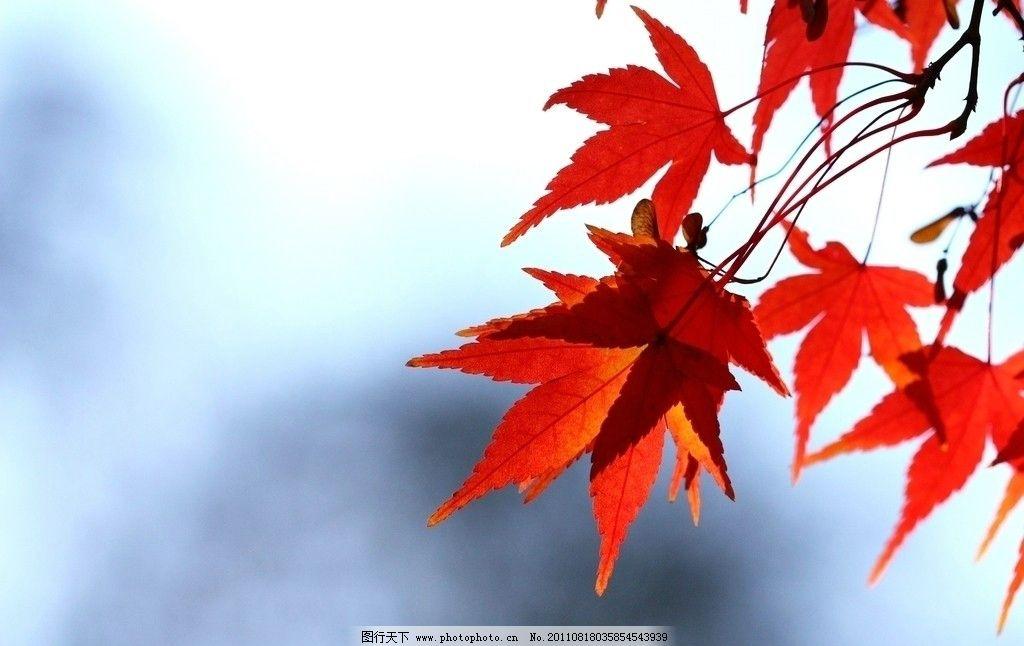 红枫叶 红叶 枫叶 秋叶 秋枫 枫火 枫树 图库 树木树叶 生物世界 摄
