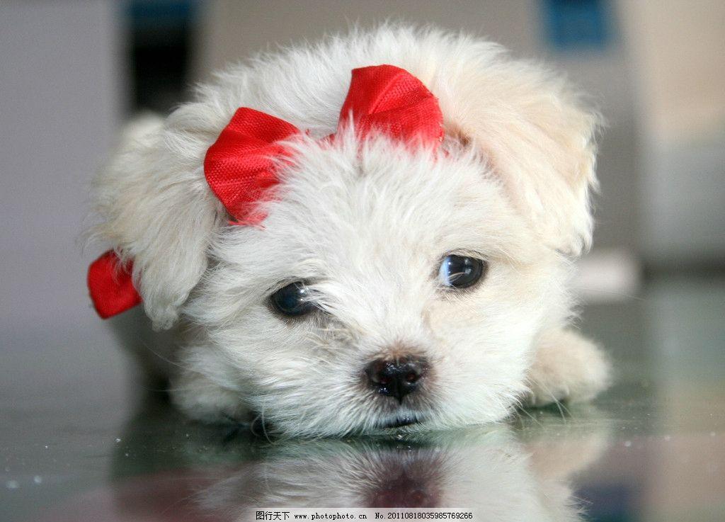 红色蝴蝶结 白色宠物