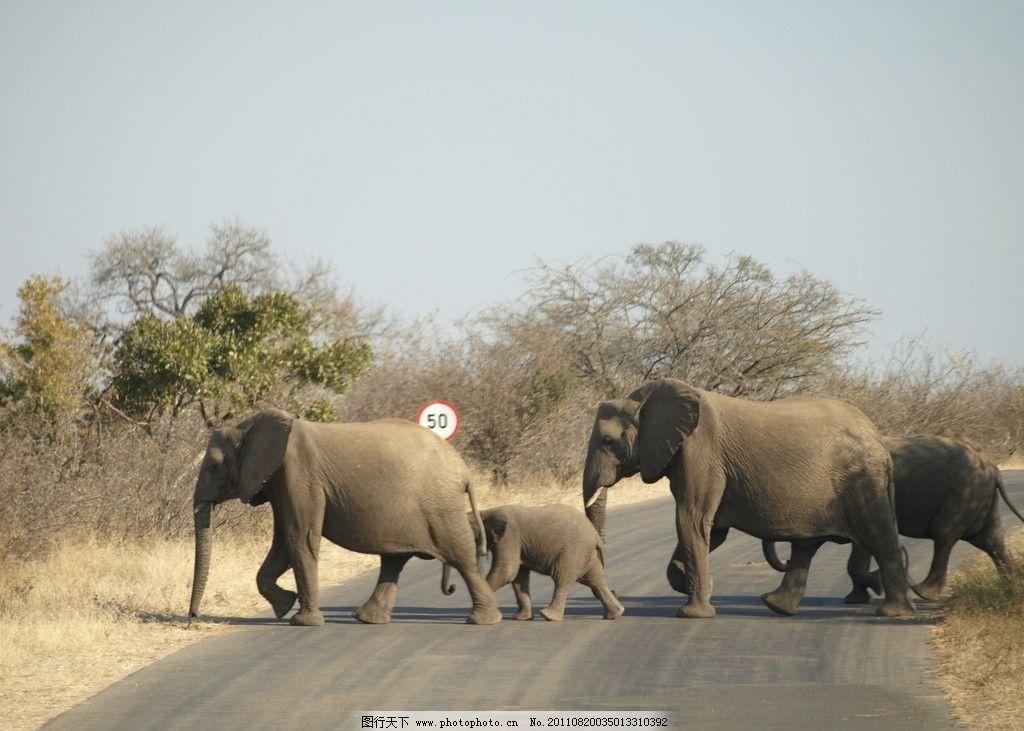 大象 大象过马路 小象 群象 野生动物 生物世界 摄影 314dpi jpg