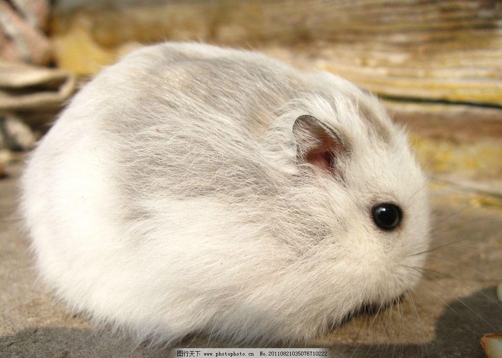 可爱仓鼠 仓鼠 白鼠 老鼠 可爱 小动物 野生动物 生物世界 摄影 180dp