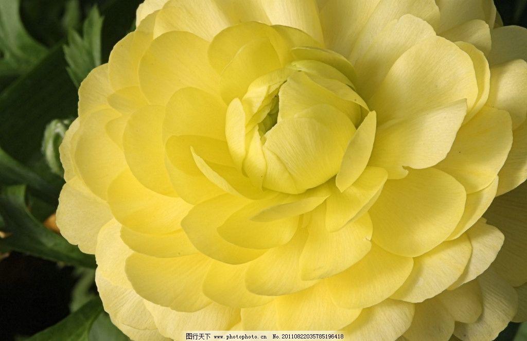 花毛茛 黄色花毛茛 芹菜花