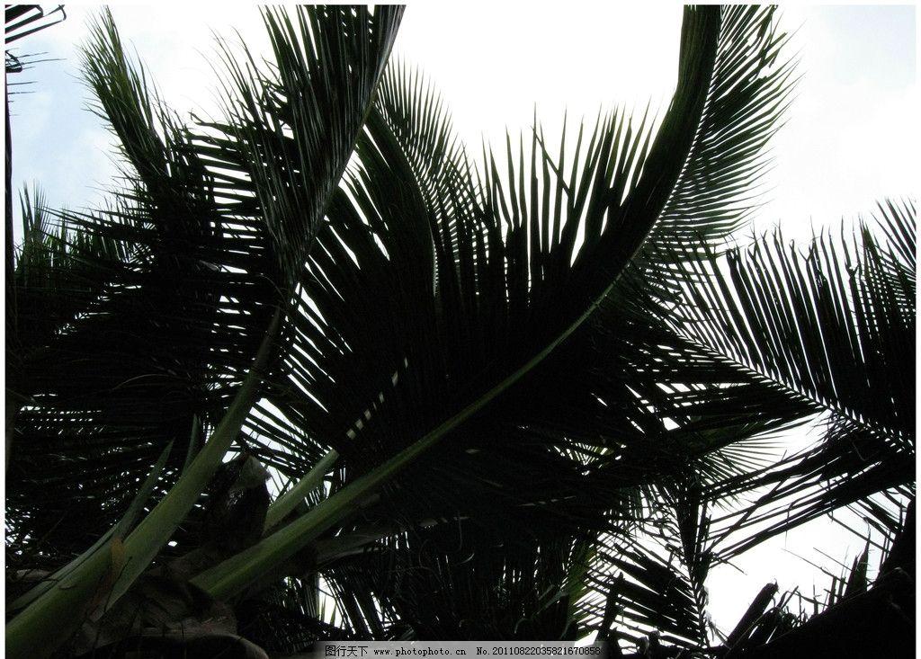 海南椰子树图片