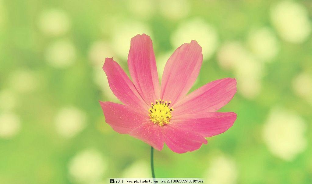 波斯菊 粉色的小菊花 春天的花 绿色 花草 生物世界 摄影 72dpi jpg