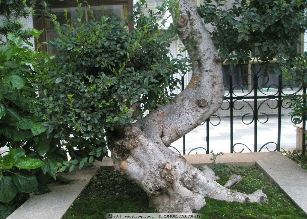 盆景 老树 树头 老树木
