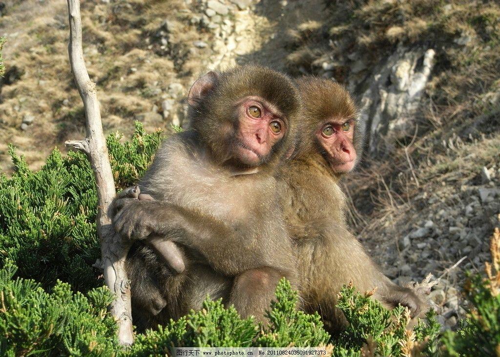 猴子 可爱的小猴子 动物 野生动物 生物世界 摄影