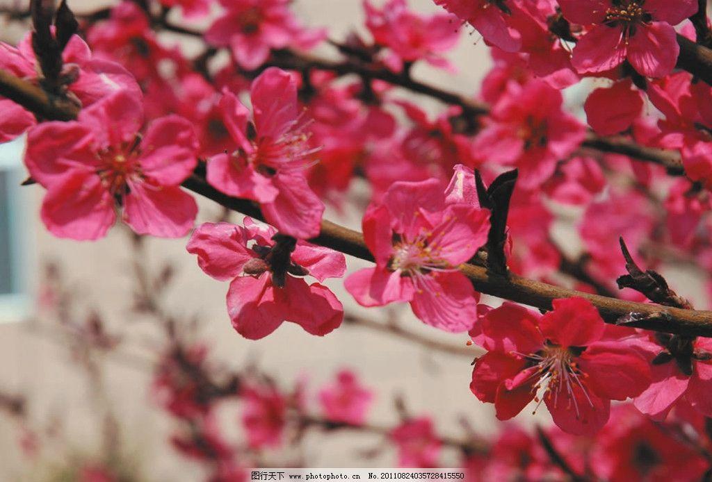 桃花 春天 红色 花草 生物世界 摄影 300dpi jpg