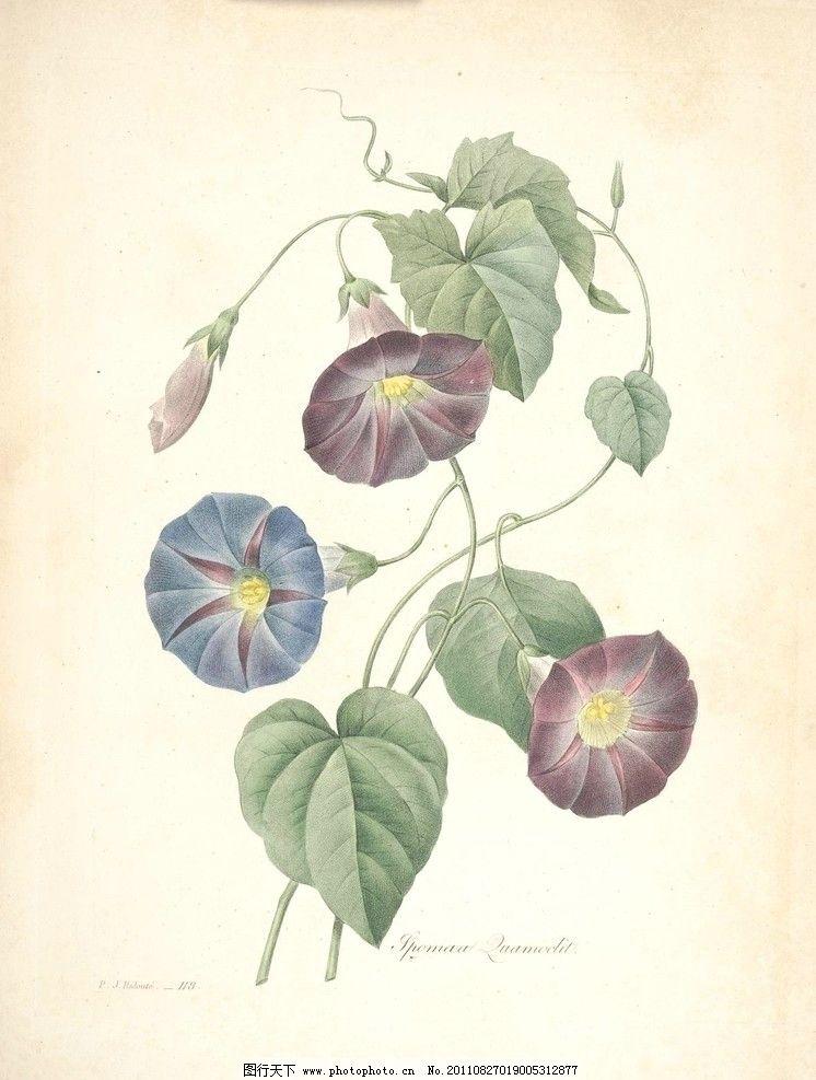 牵牛花 喇叭花 植物 图谱 淡彩 手绘 画 植物圣经 绘画书法 文化艺术